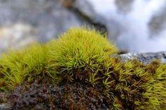 Image of Tortella fragilis - Encyclopedia of Life Herbs, Life, Image, Herb, Medicinal Plants