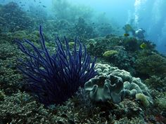 Purple sea whips - Philippines