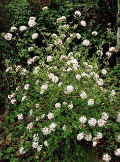 Judd Viburnum - Monrovia - Judd Viburnum. very fragrant bloom