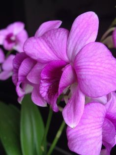 Pink Orchids by E. Villa