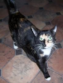 Meet Lola, a Petfinder adoptable Domestic Short Hair Cat | Columbia, SC | Lola is a sweet cat who adores being petted and rubbed.  Once she knows you she enjoys hopping up...