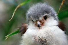 This falcon might be a floofball right now, but he's going to grow up to be a lean, mean bird of prey.