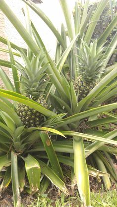 It takes 2 years for a pineapple plant to produce a pineapple