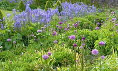 Gardening advice on how to grow Camassia a lovely spring flowering bulb which is tolerant of moist soils and drought. Camassia is a tough easy to grow bulb with tall spires of blue or whte flowers and looks fantastic flowering in April and May. Spring Flowering Bulbs, Spring Bulbs, Easy To Grow Bulbs, Cottage Garden Plants, Blue Springs, Allium, Blue Flowers, The Dreamers, Blues
