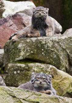 Pallas's cat (Otocolobus manul), also called the manul, is a small wild cathaving a broad but patchy distribution in the grasslands and montane steppe of Central Asia. The species is negatively affected by habitat degradation, prey base decline, and hunting, and has therefore been classified as Near Threatened by IUCNsince 2002.