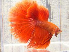 Lovely Varieties of Betta Fish - Home to Z Betta Fish Bowl, Betta Fish Types, Betta Fish Tank, Beta Fish, Types Of Fish, Fish Tanks, Freshwater Aquarium, Aquarium Fish, Betta Fish Tattoo