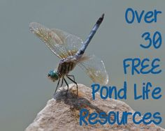 Over 30 free pond life resources for ages preschool to High School! Teaching Science, Science For Kids, Science Fun, Science Ideas, Pond Animals, Pond Life, Outdoor Education, Nature Study, Water Activities