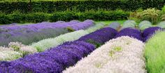 Lavender Recipes: All Purpose Cleaner and Simple Lavender Syrup.