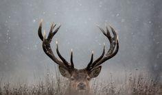 Elk.... Looks like a mule deer I know but it's not...