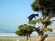 Unusual Tree Climbing Goats of Moroccan (18 Photos)