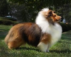 AshLaur Shetland Sheepdogs (Shelties) - Charleston, West Virginia