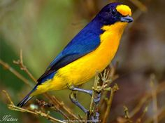 Violaceous Euphonia  is a small passerine bird in the true finch family. It is a resident breeder from Trinidad, Tobago and eastern Venezuela south to Paraguay and northeastern Argentina.