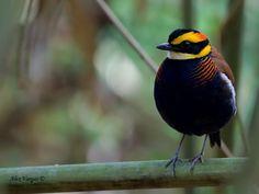 Malayan banded pitta (Hydrornis irena, Pitta irena)
