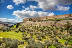 Outside the walls of the old city of #Jerusalem - Ancient Olive Trees #Israel