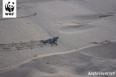 Tutte le specie di tartaruga marina sono considerate in pericolo di estinzione a causa della sempre più intensa attività umana che interferisce con la vita naturale di questi animali http://www.wwf.it/tartarugamarina/