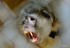 Francúzski vedci pozorovali v Japonsku pokus makakov spáriť sa s laňou - Zaujímavosti - SkolskyServis.TERAZ.sk