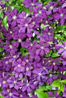 Jackmanii clematis:  hardy vine with fragrant, purple blooms from mid-summer until first frost, zones 4-9, heights of 16-20 feet with a 4-6 foot spread. partial shade, can handle more sun than other varieties, adaptable to most soil types.