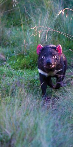 The native Tassie Devil - by Paul Pichugin mammals Wild Creatures, Cute Creatures, Animals Of The World, Animals And Pets, All Animals Are Equal, Australia Animals, Tasmanian Devil, Australian Birds, Cool Pets