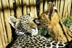 African serval kissing a leopard