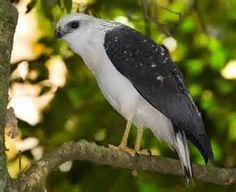 /img/ITIS/Leucopternis lacernulatus/white necked hawk 3