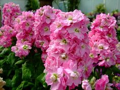 Matthiola incana in my country it is called tamed violetta. This one is double
