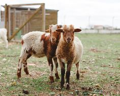 Sheep+Photography+Sheep+Art+White+Brown+Golden+by+hellotwiggs,+$15.00