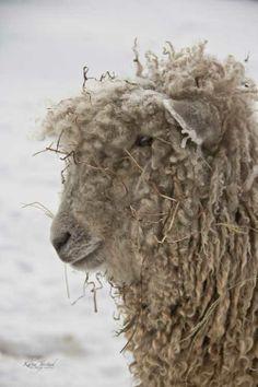 Wooly Winter Sheep Colonial Williamsburg II | Karen Jorstad Photography