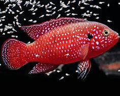 Red Jewel Cichlid... He is absolutely FABULOUS!!!!