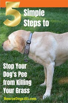 Learn how to fix burnt grass spots in your backyard or front lawn. 5 easy ways to fix dog urine spots on grass. Puppy Potty Training Tips, Dog Training, Rescue Puppies, Dog Urine, Dog Health Tips, Dogs 101, Dog Pee, New Puppy, Dog Owners