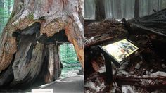 The Pioneer Cabin Tree, a giant sequoia in Calaveras Big Trees State Park that was tunneled through in the 1880s, has fallen due to severe winter weather. It was believed to be hundreds of years old.