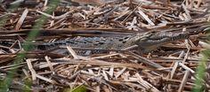 La leggenda. Fino allo scorso anno pensavo che la presenza dei coccodrilli a Isla fosse una leggenda. Questa famosa leggenda narra che il coccodrillo più grande e anziano dell'isola, alle 19 …