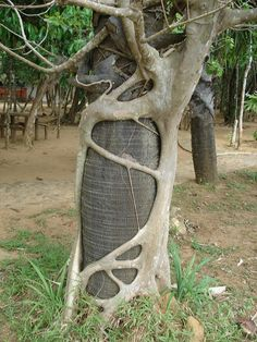 Strangler Fig Tree. Wrapping tendrils around the host tree..