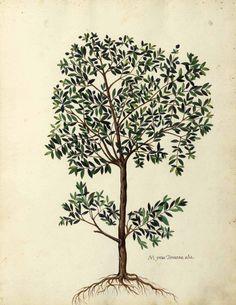 Botanical Olivetree Italian Myrtle tree Botanical illustration, medieval Italy by Ulisse Aldrovandi