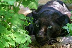 Wary Black Panther