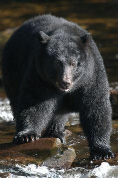 Come see these bears for yourself with Neet's Bay Bear Watch Expedition excursion in Ketchikan, AK! Tongass National Forest, Cruise Destinations, Viewing Wildlife, Forest Service, Shore Excursions, Come And See, Animals Of The World, Life Cycles, Black Bear