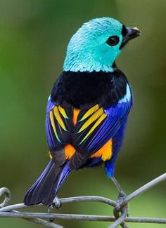 Blue necked or turquoise tanager.AYou can find Little birds and more on our website.Blue necked or turquoise tanager. Pretty Birds, Love Birds, Beautiful Birds, Animals Beautiful, Beautiful Pictures, Cute Baby Animals, Animals And Pets, Funny Animals, Funny Birds