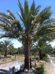Pin on Buy Medjool Date Palm Trees Buy Phoenix Dactylifera Texas California Florida Florida Palm Trees, California Palm Trees, Phoenix Dactylifera, California Dates, Southern California, Palm Trees Landscaping, Indoor Palms, Buy Plants Online, Palm Plant