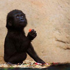 Libéré d'un groupe armé, un bébé gorille trouve une nouvelle famille