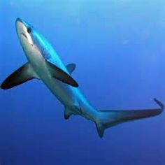Thresher Shark. <<<THE LOOK ON ITS FACE THOUGH!!! I love it^-^