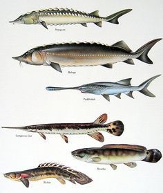 Sturgeon, Beluga, Paddlefish, Paddlefish, Longnose Gar, Bowfin, Bichir -    1984 art print
