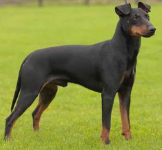 Manchester Terrier dog breed is keenly observant, devoted but discerning in his friendships. Big Dogs, Large Dogs, I Love Dogs, Top Dog Breeds, Large Dog Breeds, Terrier Dog Breeds, Terriers, Manchester Terrier, Min Pins