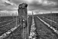 Growth Rathfinny Wine estate photo by johnanewton.co.uk