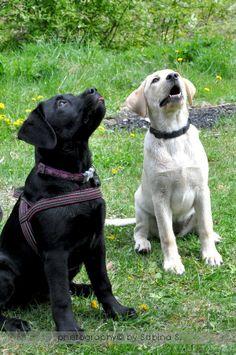 Labradors, Service Dogs, Labs, Labrador Retriever, Labrador Retrievers, Labrador, Labrador Retriever Dog, Working Dogs, Lab