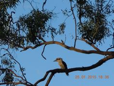 Kookaburras are terrestrial tree kingfishers of the genus Dacelo native to Australia and New Guinea, which grow to between 28–42 cm (11–17 in) in length. The name is a loanword from Wiradjuri guuguubarra, onomatopoeic of its call.