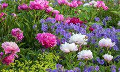 Spring Combination Ideas, Plant Combinations, Flowerbeds Ideas, Spring Borders, Summer Borders, Lady's Mantle, Alchemilla Mollis, Peonies, Paeonia Lactiflora, Geranium magnificum
