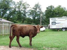1000 images about cows on pinterest cattle for sale dexter and cows for sale for Craigslist farm and garden okc
