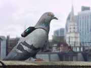 Pombos estão monitorando o ar da Cidade de Londres