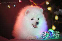 Merry Christmas from Russia!  Пушистик на фото продается! =) За подробностями www.spitz.dog