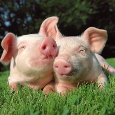 "Pigs: ""It is said that they have emotion, sensitivity, hurt feelings and are easily bored. They are very sociable to humans and they are trainable. Some say they are more trainable than dogs. In laboratories, pigs play video games better than primates. Pigs can also dream and recognize their own names."""