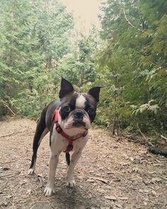 Boston terrier (Louie) loves to #hike